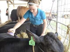 County-Fair-Livestock